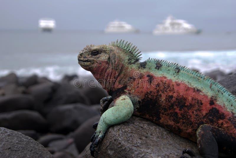 Galapagos öar Marine Iguana som värma sig på vulkaniskt, vaggar fotografering för bildbyråer