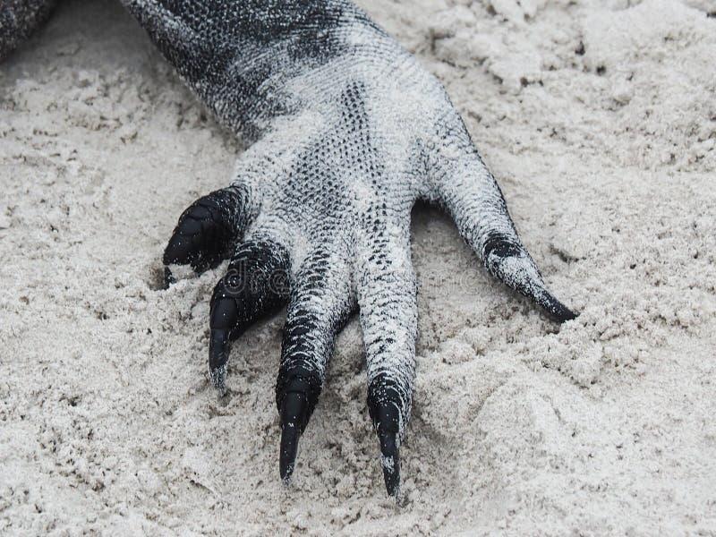 Galapagos θαλάσσιο iguana, cristatus Amblyrhynchus, κινηματογράφηση σε πρώτο πλάνο του ποδιού στοκ φωτογραφία με δικαίωμα ελεύθερης χρήσης