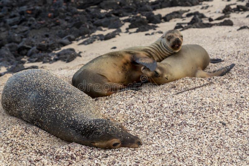 Galapagos λιοντάρι θάλασσας Galapagos στα νησιά στοκ εικόνες