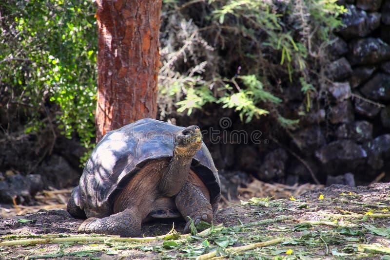 Galapagos ο γίγαντας στον ερευνητικό σταθμό του Charles Δαρβίνος στο S στοκ εικόνες με δικαίωμα ελεύθερης χρήσης