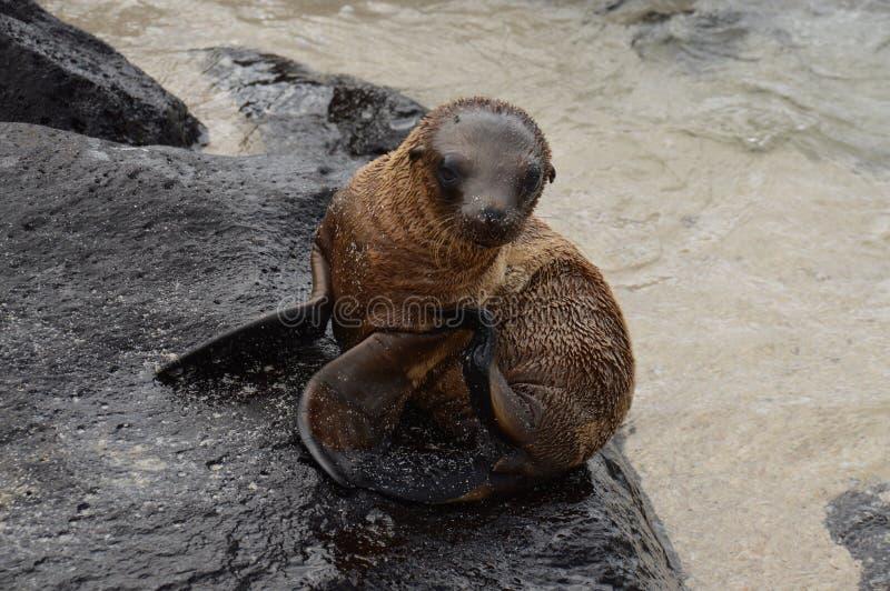 Galapagos-Baby-Seelöwe stockfotos