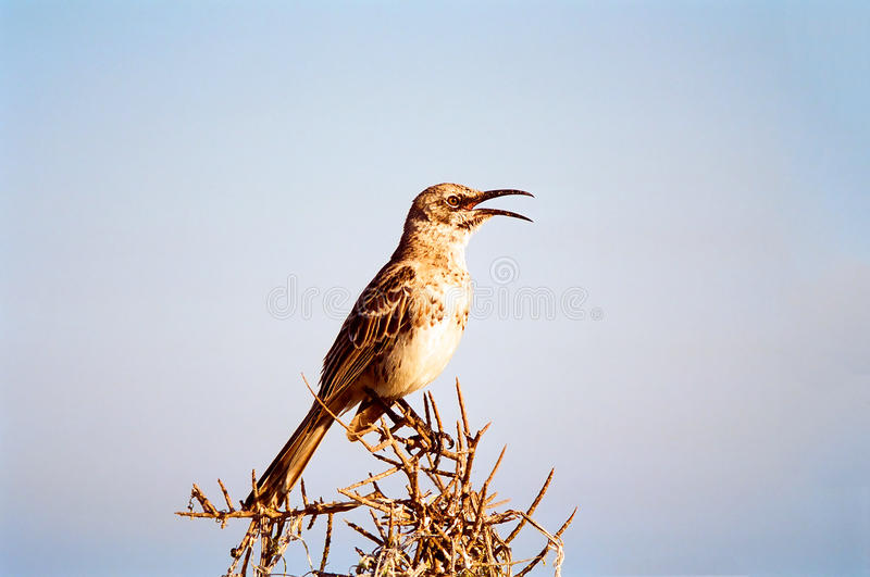 Galapagos Bird portrait royalty free stock photography
