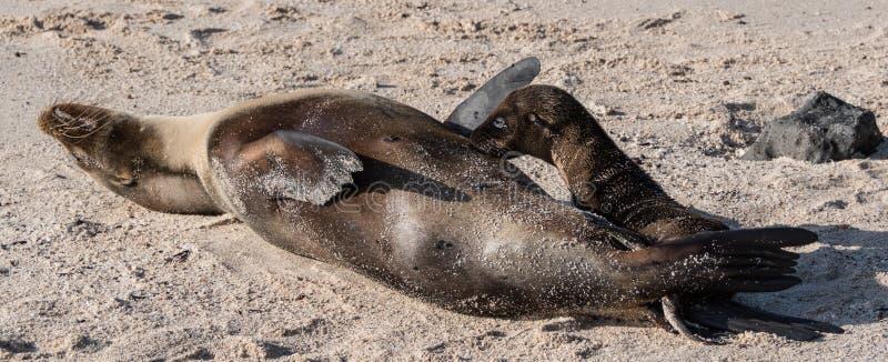 Galapagos Cub σφραγίδων θηλάζον νεογνό στοκ εικόνα με δικαίωμα ελεύθερης χρήσης