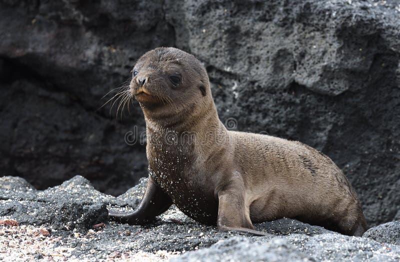 Galapagos cub λιονταριών θάλασσας στοκ εικόνες