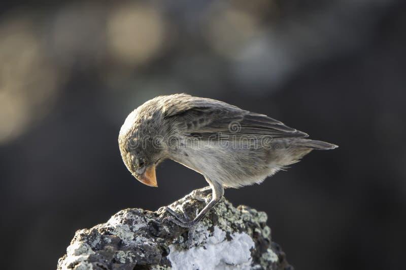 Galapagos Darwin Finch s'asseyant sur la roche photographie stock