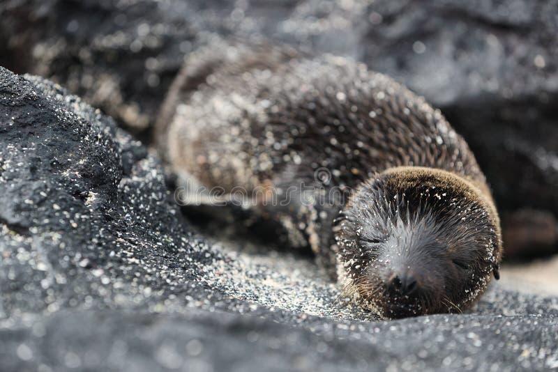 Galapagos Dennego lwa ciuci figlarnie bawić się w piaska lying on the beach na plażowych Galapagos wyspach obraz royalty free