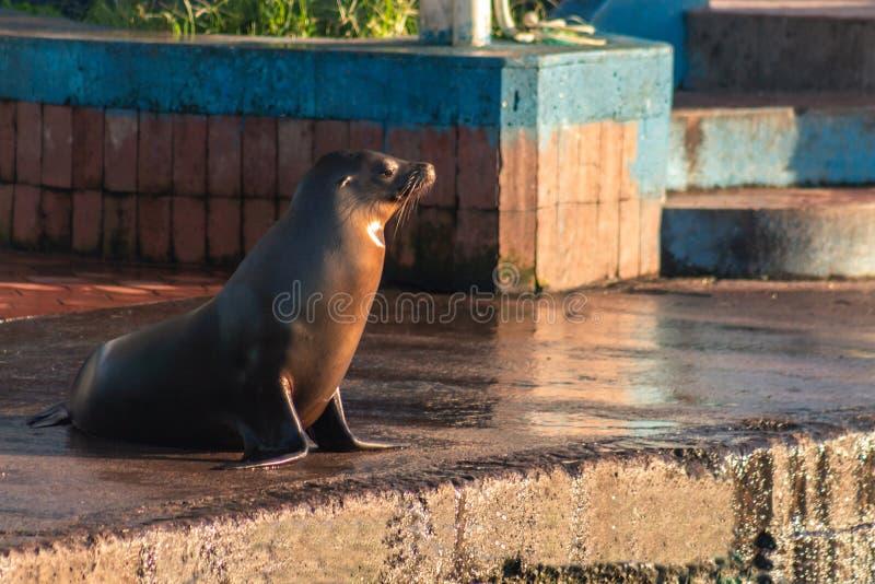 Galapagos dennego lwa dopatrywanie w kierunku morza na pogodnym popołudniu na molu obrazy royalty free