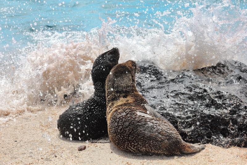 Galapagos Dennego lwa lisiątek figlarnie bawić się w piaska lying on the beach na plażowych Galapagos wyspach obraz stock