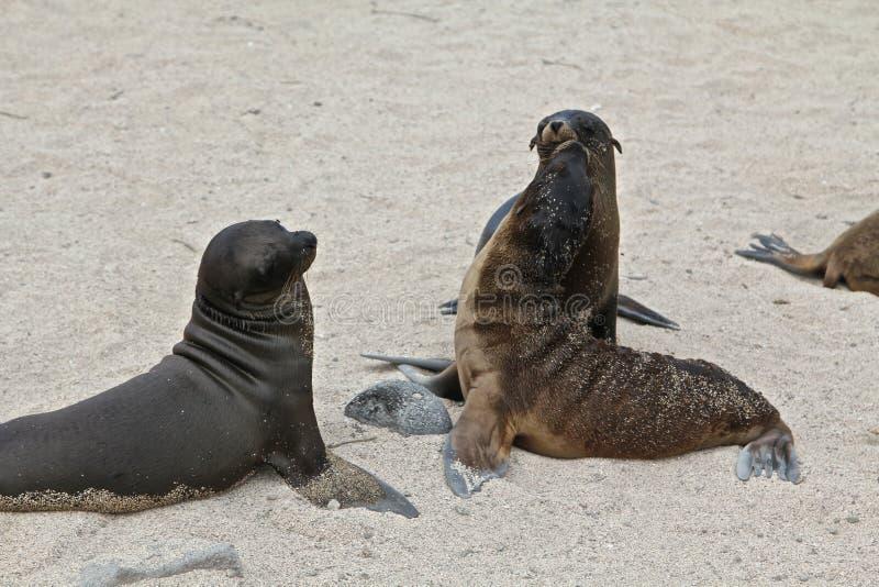 Galapagos denni lwy zdjęcia stock