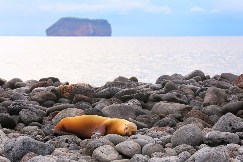 Galapagos denny lew na skalistym brzeg Północna Seymour wyspa, Galap fotografia stock