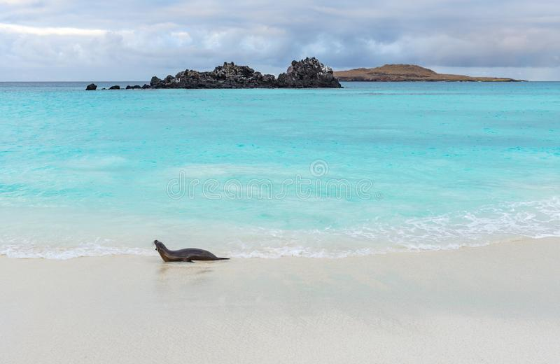 Galapagos Denny lew, Galapagos wyspy, Ekwador obraz stock