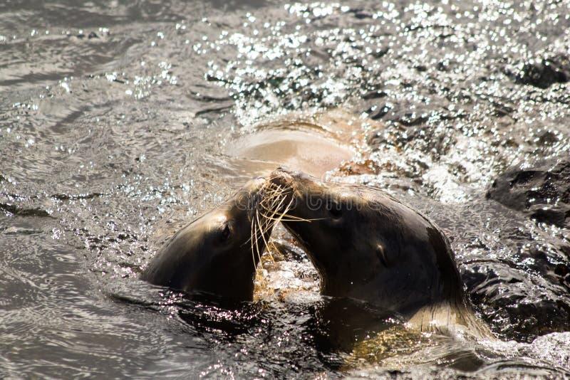 Galapagos Dennych lwów Całować zdjęcie royalty free