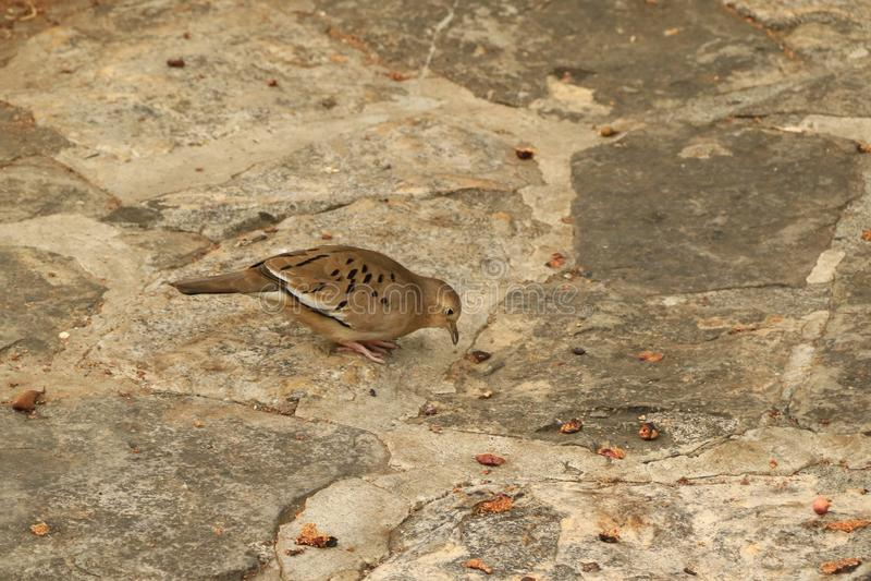 A Galapagos Dove stock photo