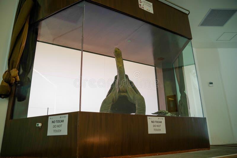 GALAPAGOS ECUADOR, NOVEMBER 29, 2018: Den inomhus sikten av den ensamma George insidan av ett exponeringsglas ställer ut på Charl arkivfoto