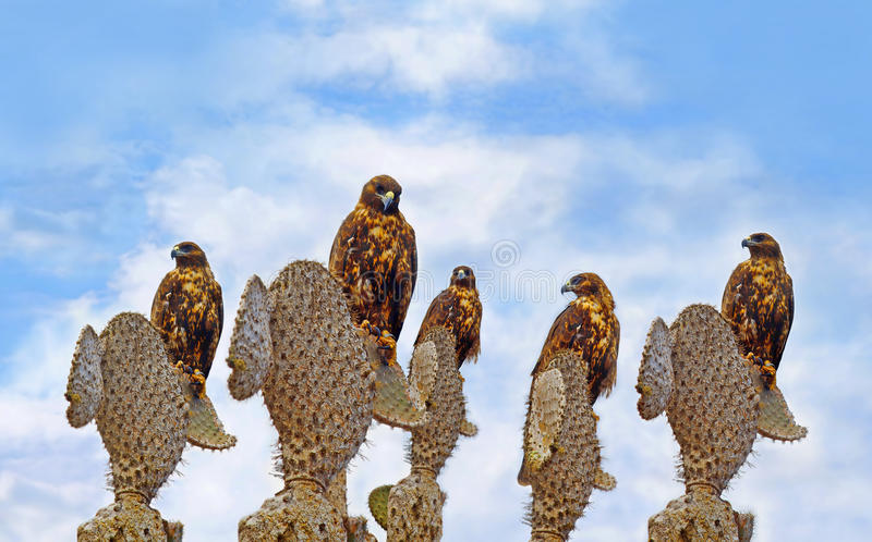 Galapagos-Falken auf Santa Fe