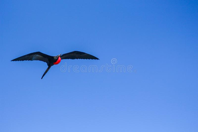 Galapagos frigate flying over a beautiful blue sky with its inflated red bag stock image