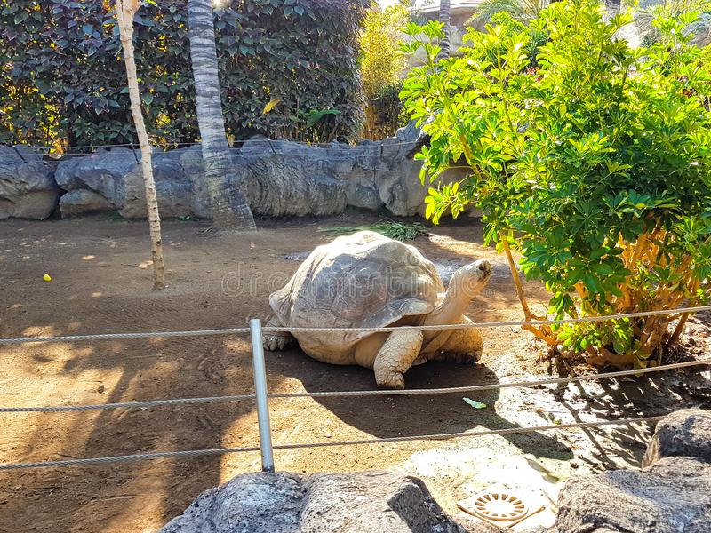 Galapagos géant au zoo image stock