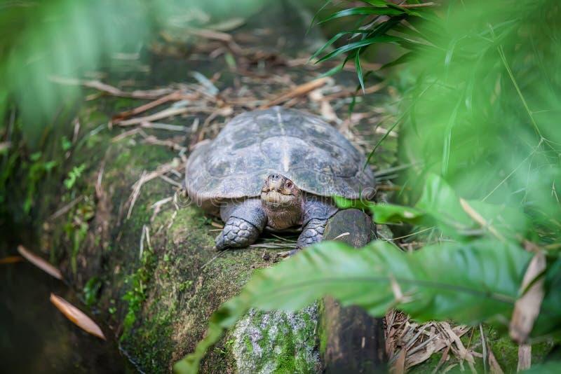 Galapagos giant land turtle in Singapore Zoo stock photos