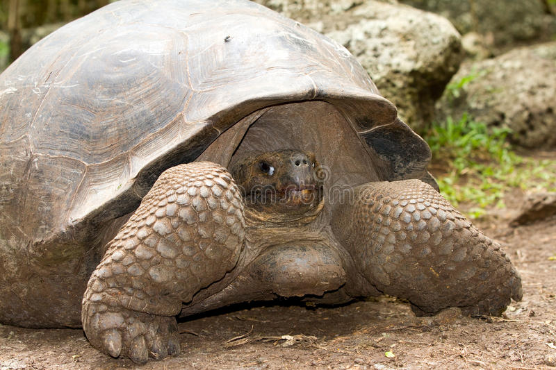 Download Galapagos giant tortoise stock image. Image of reptile - 22103539