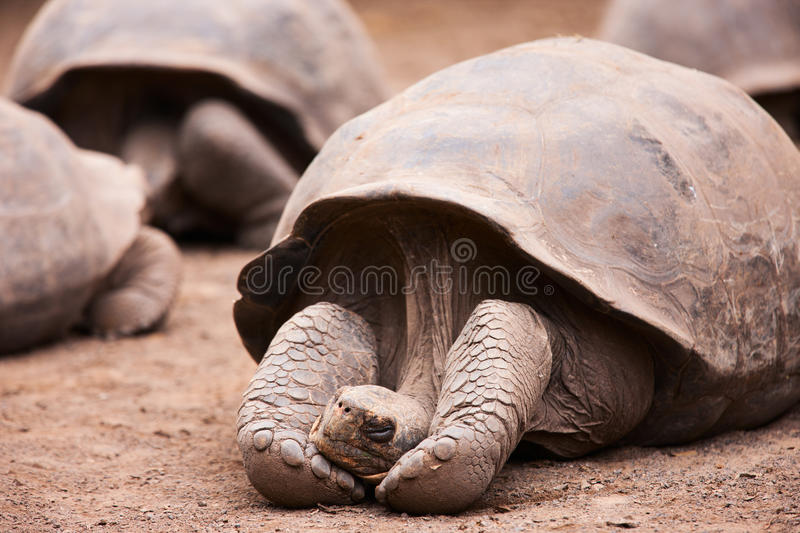 Galapagos Giant Tortoise Stock Images