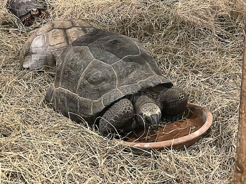 Galapagos giant tortoise. royalty free stock photography