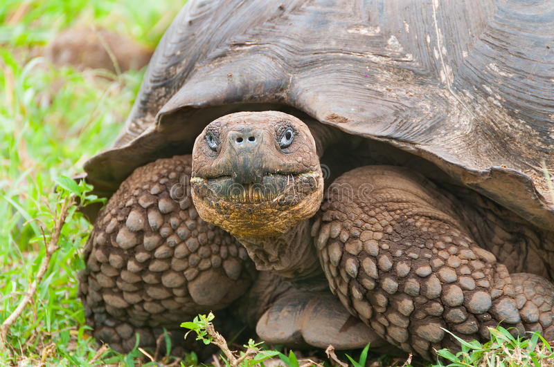 Galapagos Giant Tortoise in Closeup. Single giant tortoise looking face on to camera showing a closeup of the face stock photo