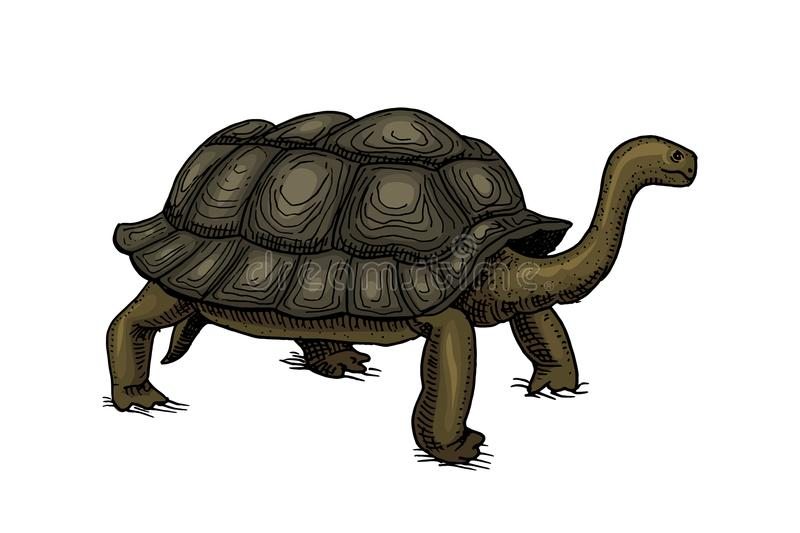 Galapagos giant tortoise. Cute Turtle in Ecuador. Animals Reptiles. Pet and Wildlife. Engraved hand drawn in old vintage vector illustration