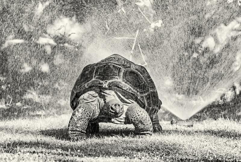 Galapagos giant tortoise and garden water sprayer, colorless royalty free stock images