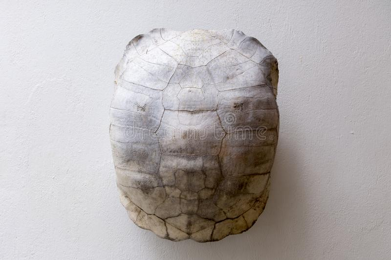 Galapagos giant tortoise shell used as wall decoration on white background vector illustration