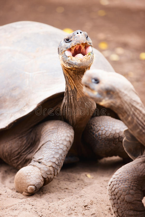 Download Galapagos giant tortoises stock image. Image of enormous - 28832709