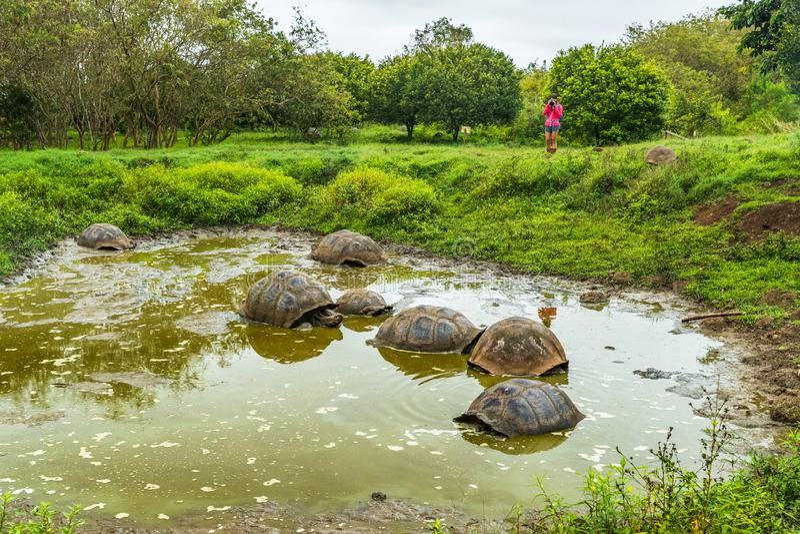 Galapagos Giant Tortoises op het eiland Santa Cruz op de Galapagos-eilanden royalty-vrije stock afbeeldingen
