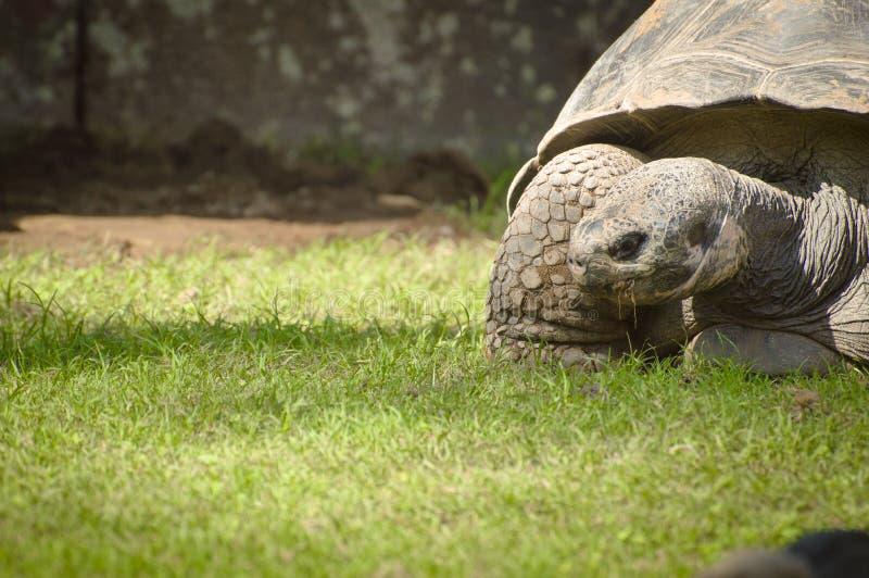 Galapagos Giant turtle royalty free stock photo