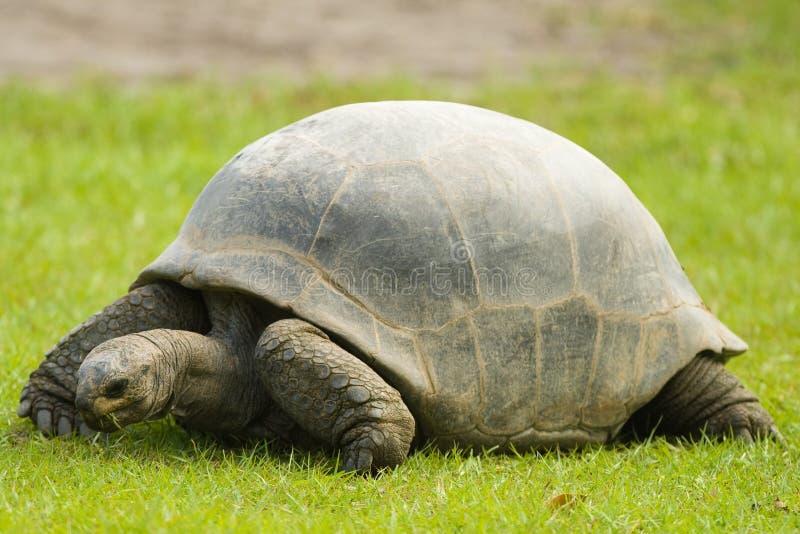 Galapagos Gigantycznego Tortoise łasowania trawa fotografia royalty free