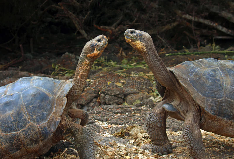 Galapagos Gigantyczni Tortoises zdjęcie royalty free