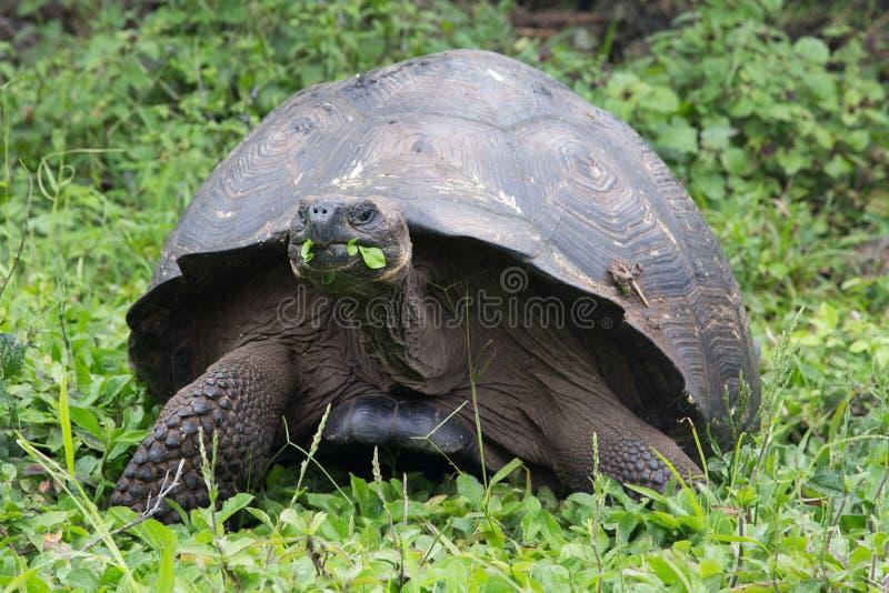 Galapagos gigantyczny tortoise cieszy się posiłek zdjęcie royalty free