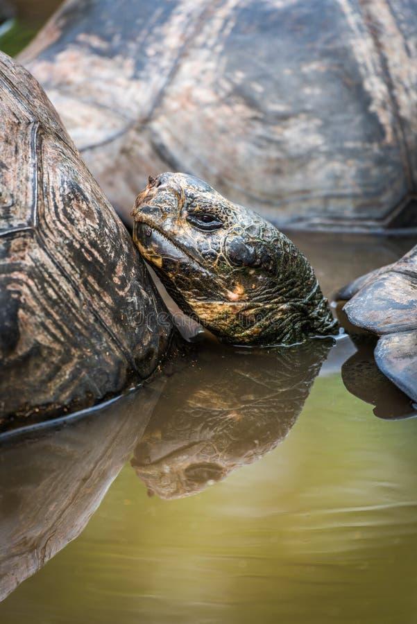 Galapagos gigantyczny tortoise w stawie wśród inny fotografia stock