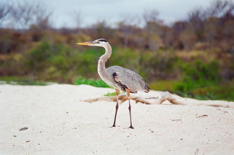 Galapagos-großes Blau-Reiher lizenzfreies stockbild