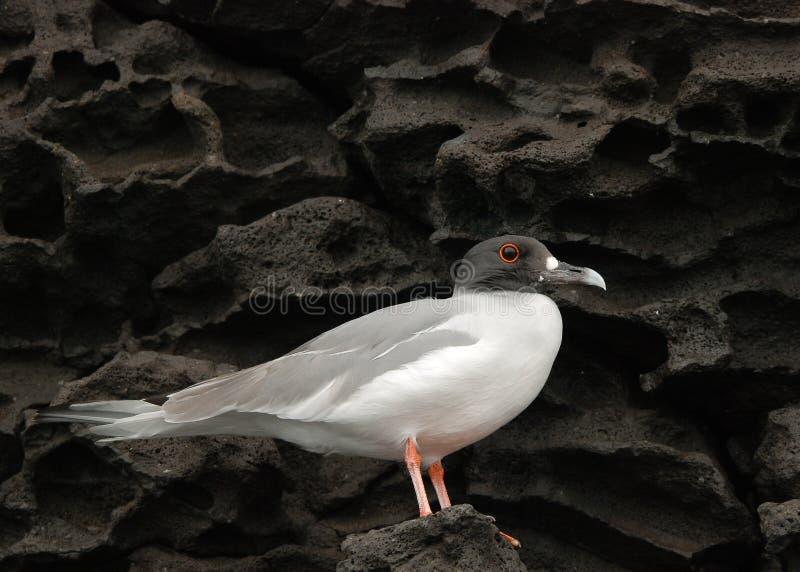 Download Galapagos Gull on Lava stock photo. Image of bird, single - 14526930