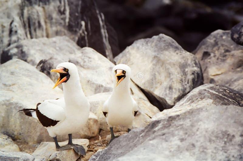 Galapagos ha mascherato il Booby immagini stock libere da diritti