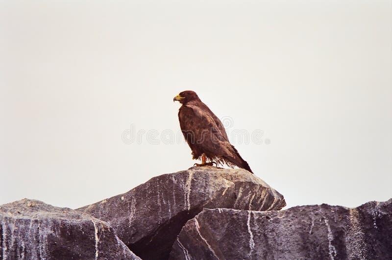 Galapagos Hawk. A Galapagos Hawk on the rocky cliffs of the Galapagos Islands, Ecuador royalty free stock photography