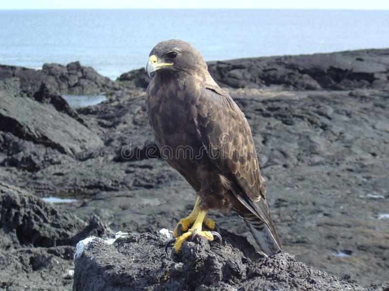 Download Galapagos hawk stock image. Image of shore, animals, ecuador - 2208337
