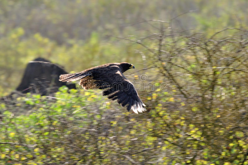 Download Galapagos Hawk in flight stock photo. Image of holiday - 20614714