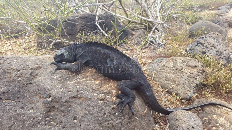 Galapagos iguana obrazy stock