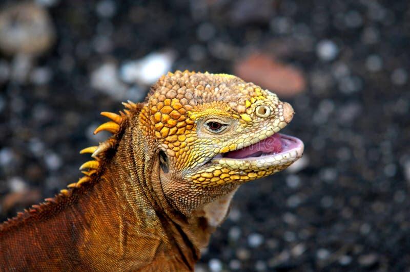 galapagos iguana fotografia royalty free