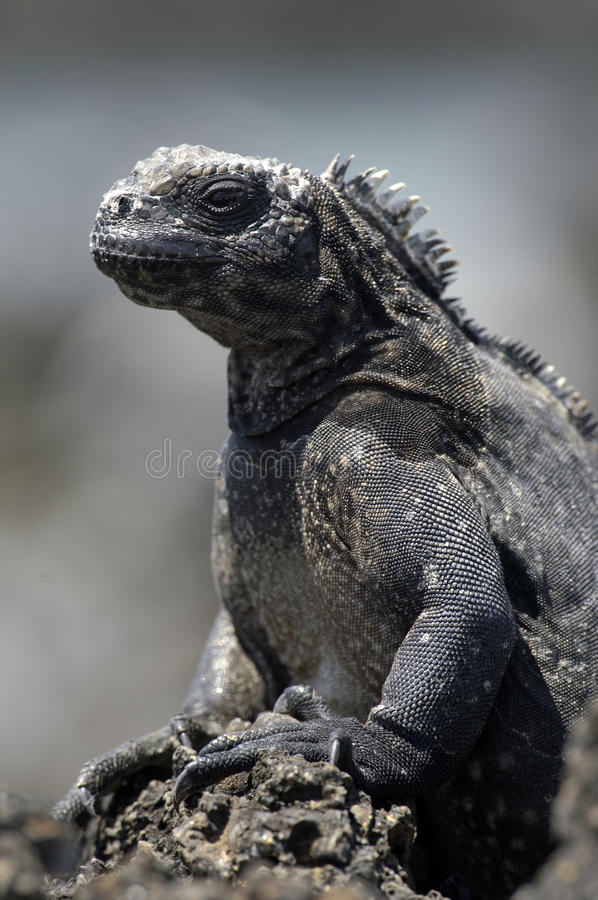Download Galapagos Iguana stock photo. Image of animal, green - 18418550