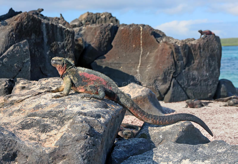 Galapagos Iguana. Colorful iguana warming up in the sun in the Galapagos Islands royalty free stock image