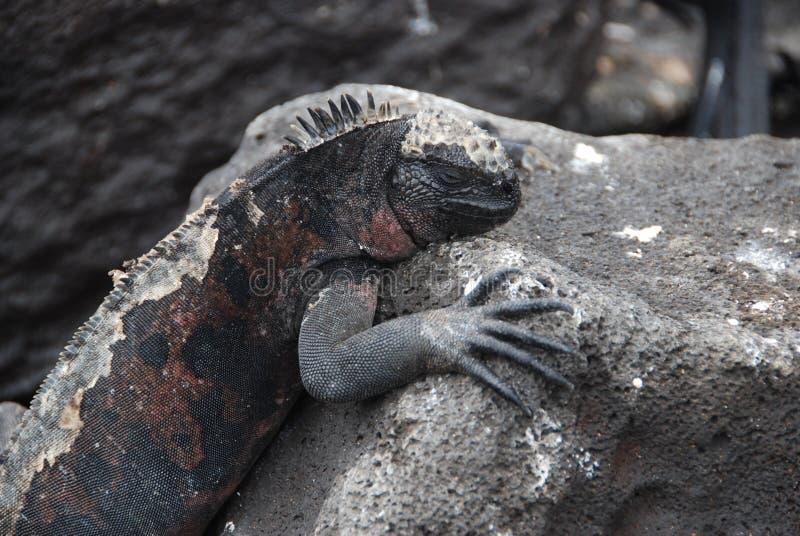 Download Galapagos Iguanas stock image. Image of amphibians, destination - 13214827