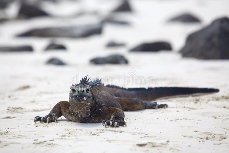 galapagos iguany żołnierz piechoty morskiej zdjęcia royalty free