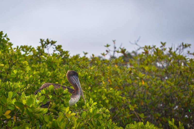 Galapagos-Inseln - 24. August 2017: Pelikanvogel, der in Puerto Ayora in Santa Cruz-Insel, Galapagos-Inseln, Ecuador sich entspan stockfotos