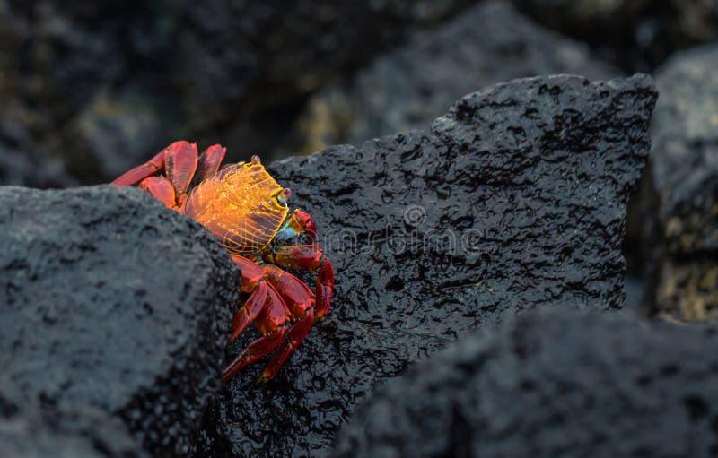 Galapagos-Inseln - 23. August 2017: Rote Krabbe in der Küste von Santa Cruz Island, Galapagos-Inseln, Ecuador stockfotos